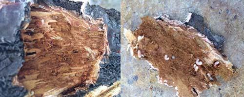 在此期间产卵并孵化,幼虫在树皮下及树干内蛀食孔道,危害树木的韧皮部